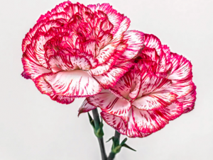 Why we should all love Carnations